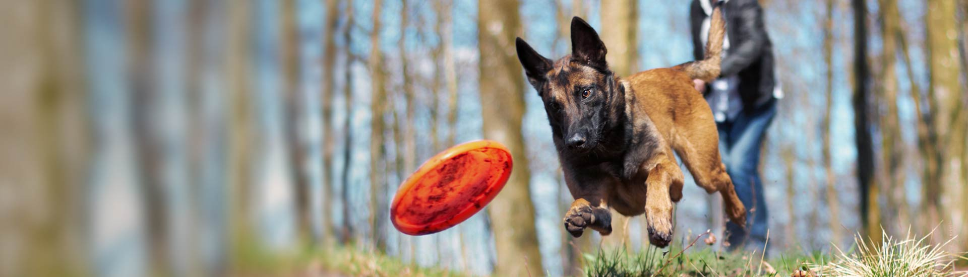 Dog chasing a frisbee